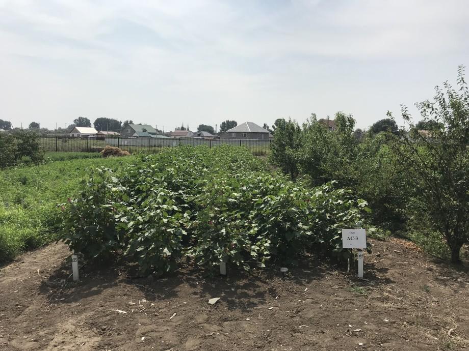«Предотвращают рак»: как выращивают и селекционируют астраханские арбузы