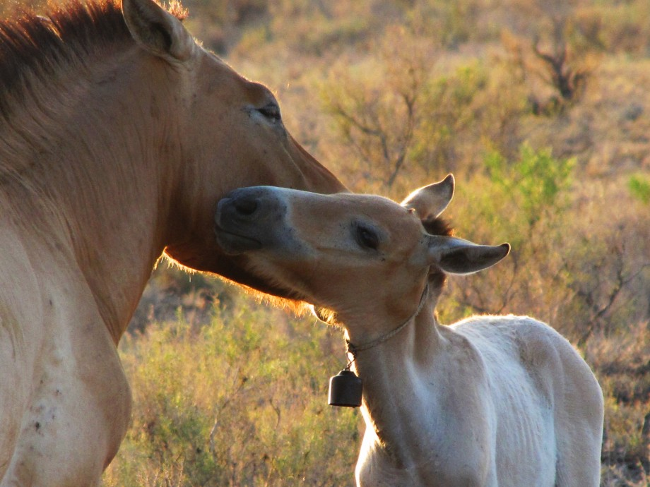 «Джунгарское чудо»: как в Казахстане возрождают популяцию лошади Пржевальского