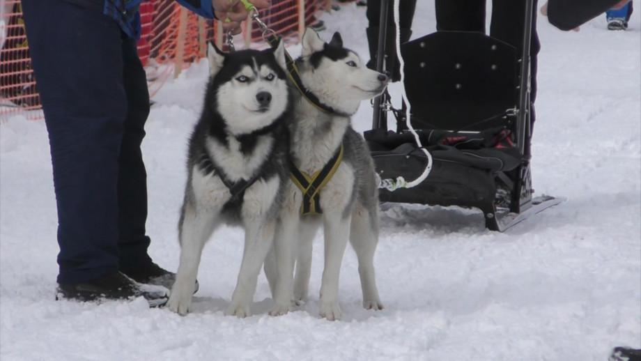 Благородные и выносливые: на Кавказе стали популярны ездовые собаки