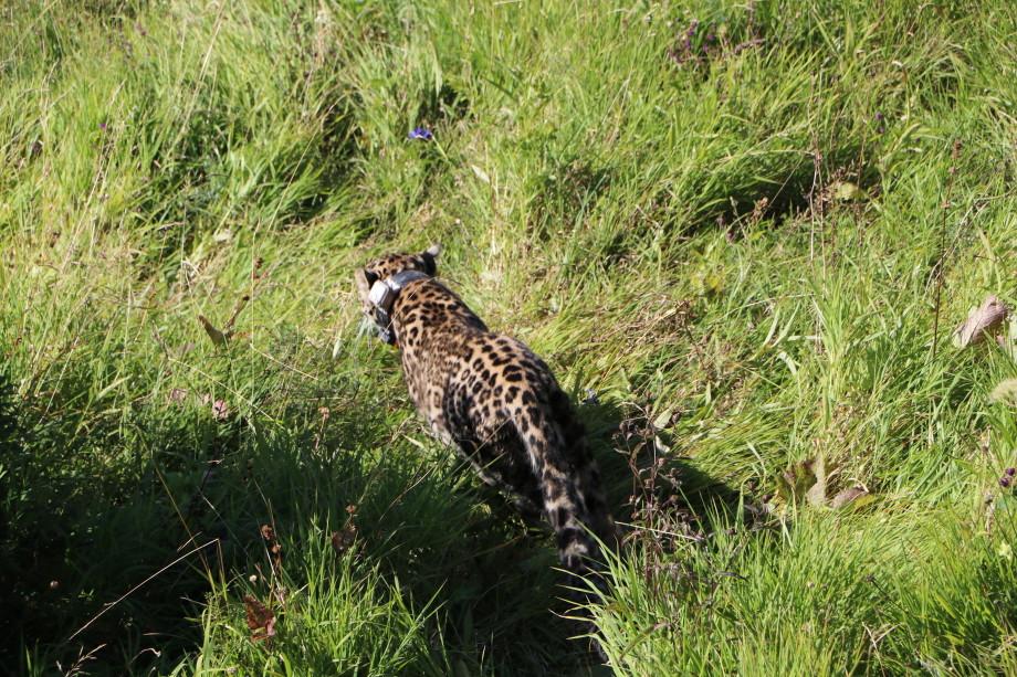 Возвращение в природу: зачем в горы Северной Осетии везут леопардов?