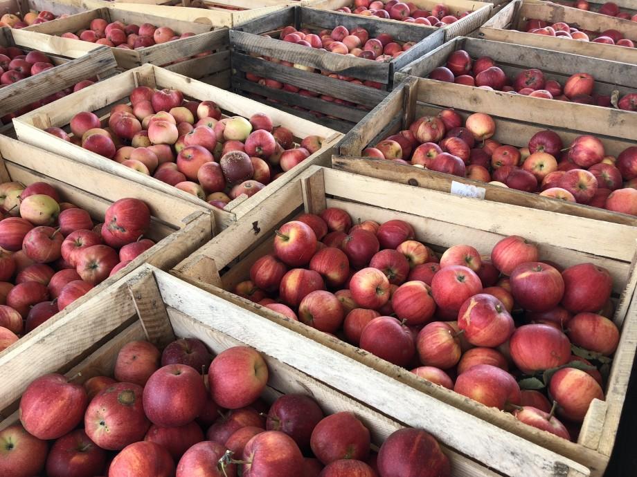 Богатейший урожай ранних сочных яблок планируют собрать в Грузии