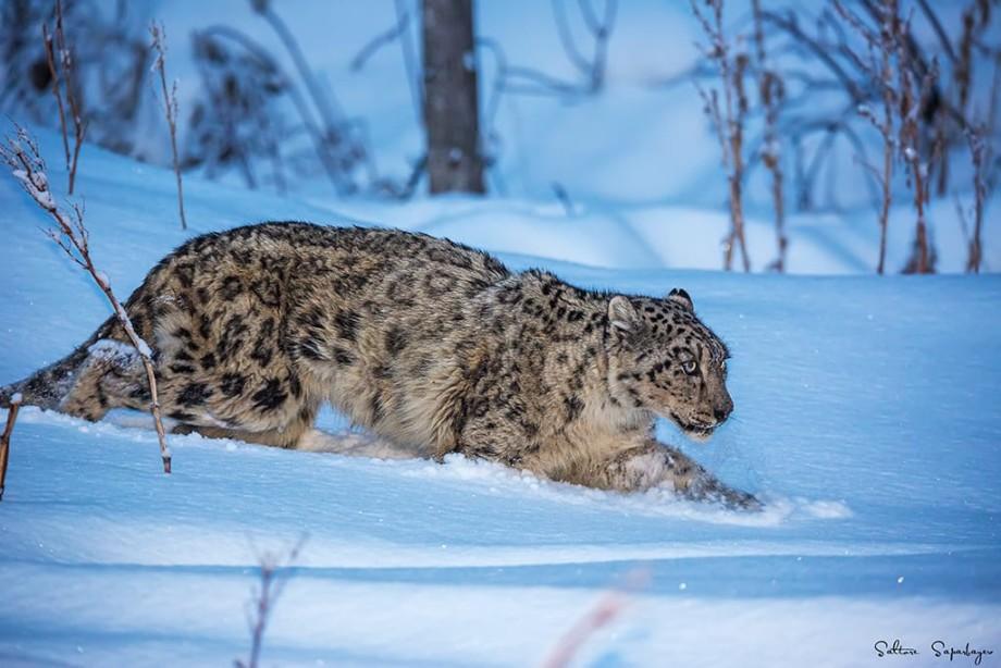 Cимвол Казахстана: как спасают снежных барсов?