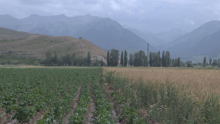 Вместо картошки – валериана: фермеры Кыргызстана осваивают лекарственные травы