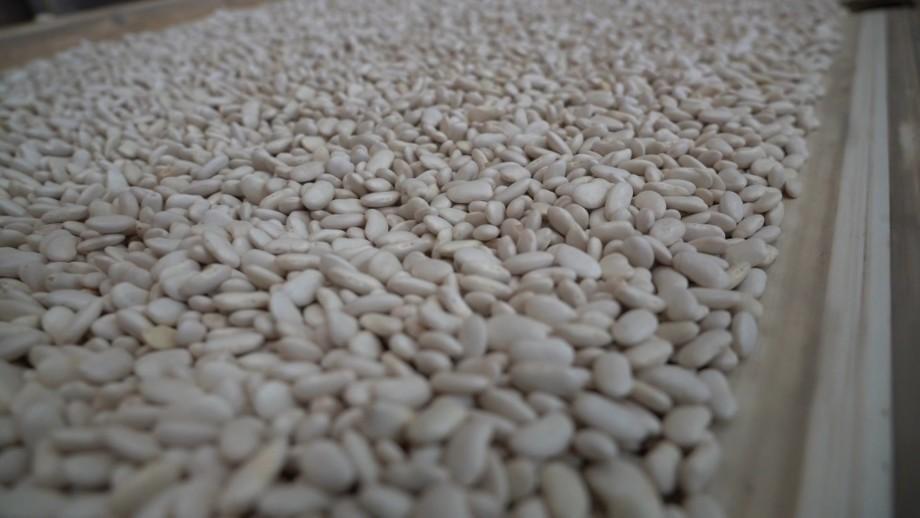 Киргизские фермеры обеспокоены низким урожаем фасоли в Таласе