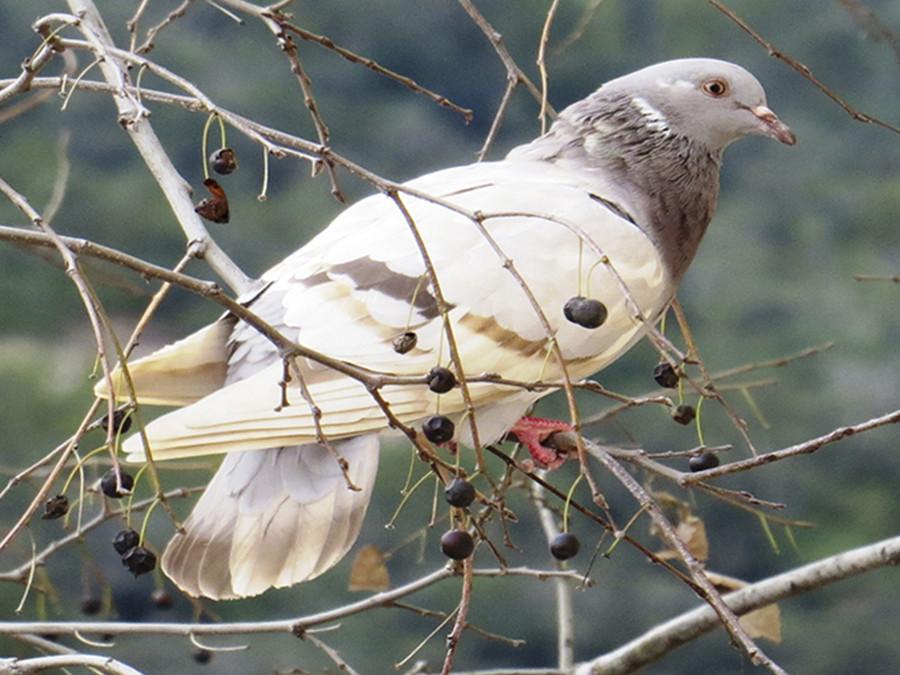Летающие «магниты»: удивительная история голубиной почты