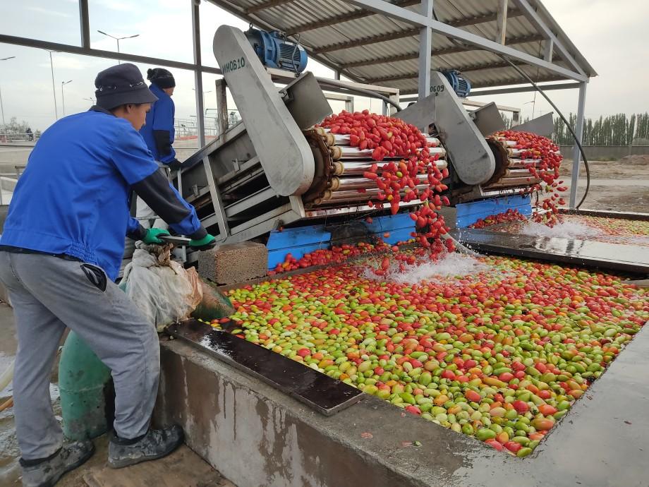 Реки «красного золота»: как Кыргызстан спасает застрявшие в стране помидоры