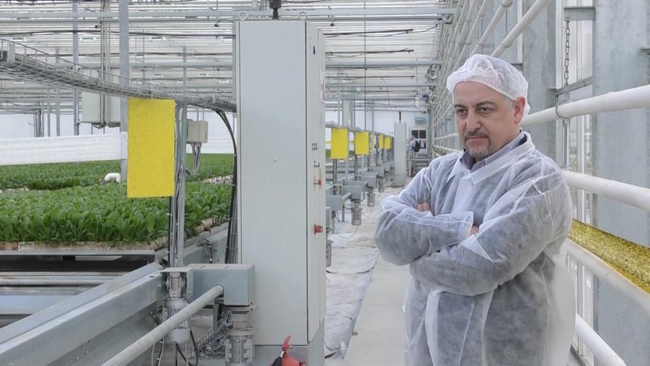 Зеленое импортозамещение: как в Кисловодске выращивают «русскую капусту» и томаты