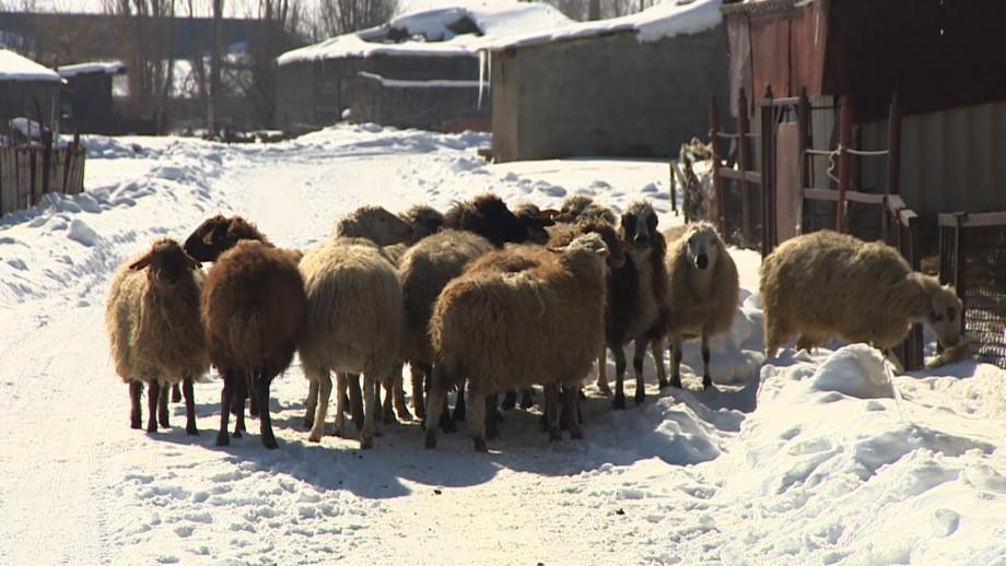 Армянское руно: как в республике возрождают переработку овечьей шерсти