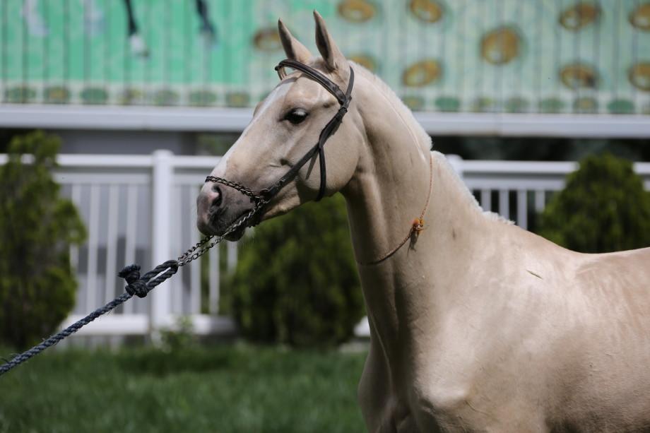Туркменские ахалтекинцы – наследники «небесных коней»