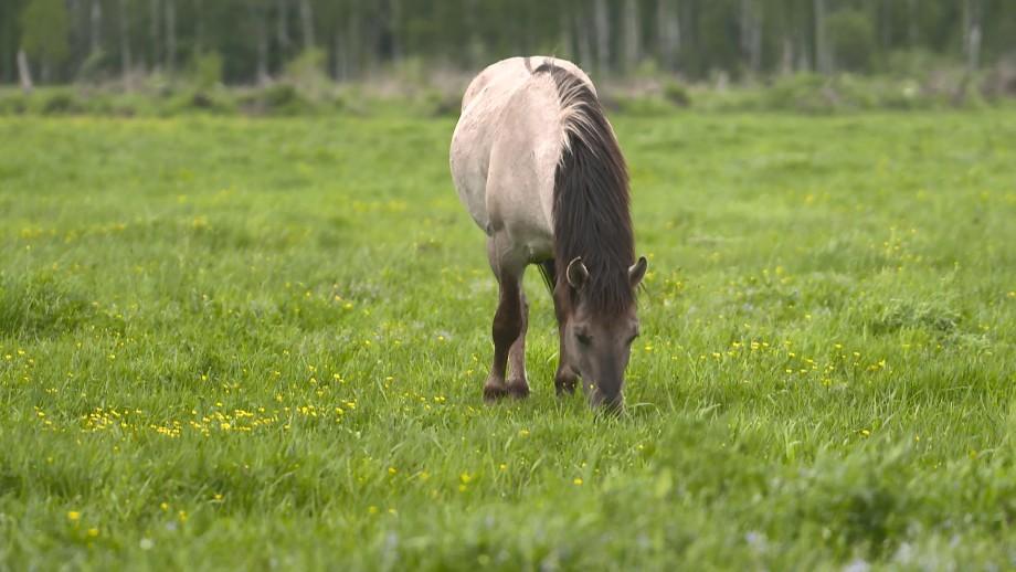 Возвращение домой: в Беларуси возрождают популяцию тарпановидных лошадей