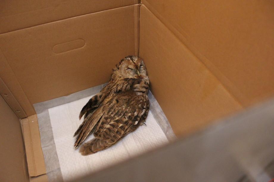 «Она начинала слетать, бегать по мне и срыгивать на меня погадки»: как волонтеры возвращают к жизни диких птиц