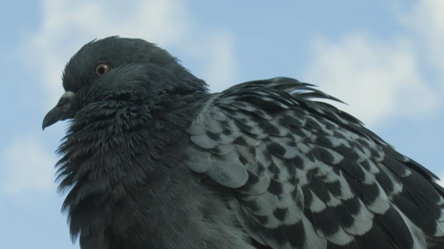 Зоозащитники хотят засудить шеф-повара, приготовившего голубя в прямом эфире