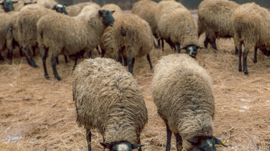 Фермер-сириец возрождает овцеводство в Беларуси