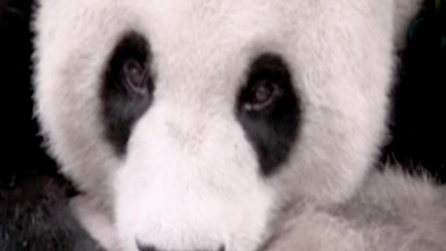 Панды радуются китайскому Новому году