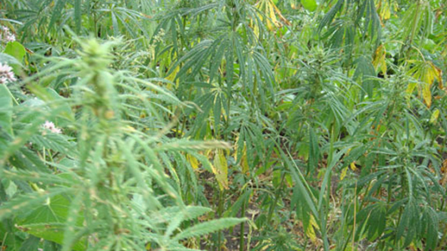 Орегон и Аляска легализовали марихуану