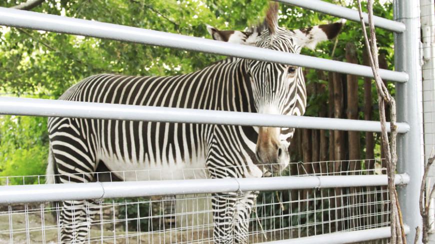Ученые опровергли Дарвина: полоски зебрам нужны не за этим