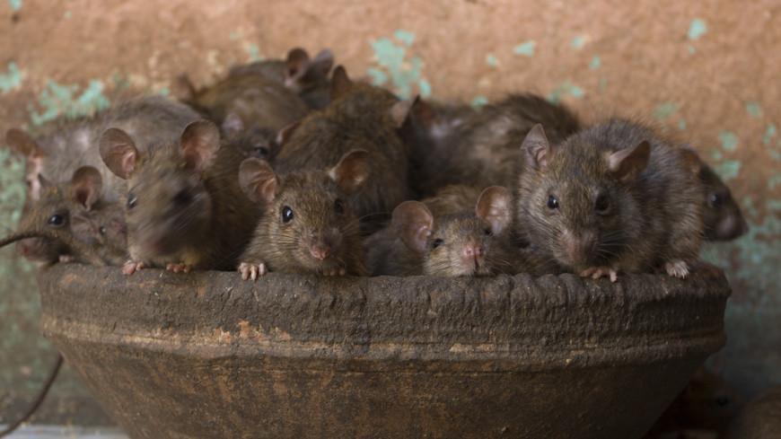 Храм крыс: удивительная и пугающая Индия
