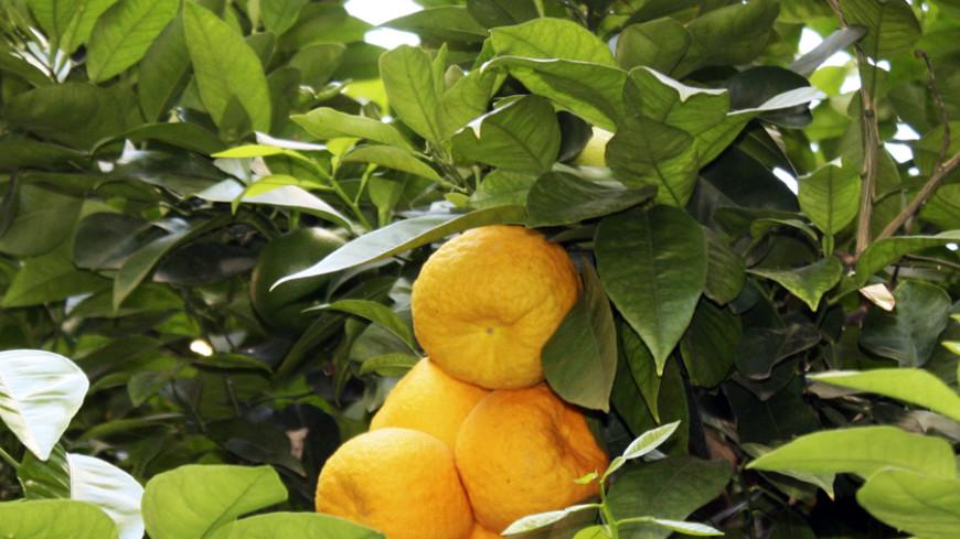 Апельсинового сока в мире станет намного больше