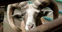 Йог и семеро козлят: в США набирают популярность тренировки с животными
