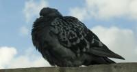 Почтовые голуби отвечали за доставку наркотиков в Иране