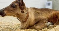 Двуногий теленок-мутант в Индонезии научился ходить, как человек