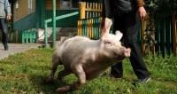 Спасенная от наводнения свинья стала мемом