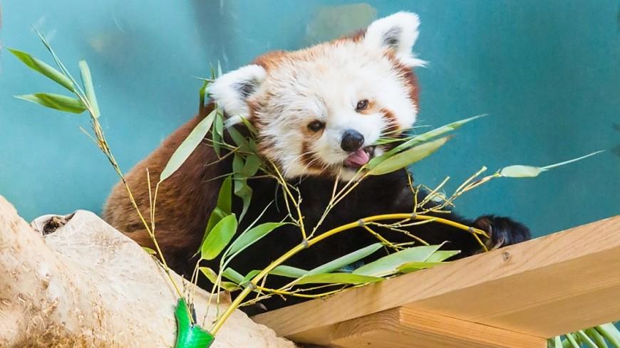 Панды-вегетарианцы стали различать горький вкус пищи