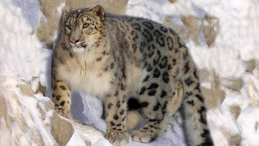 В Бишкеке 12 стран подписали декларацию о сохранении популяции снежного барса