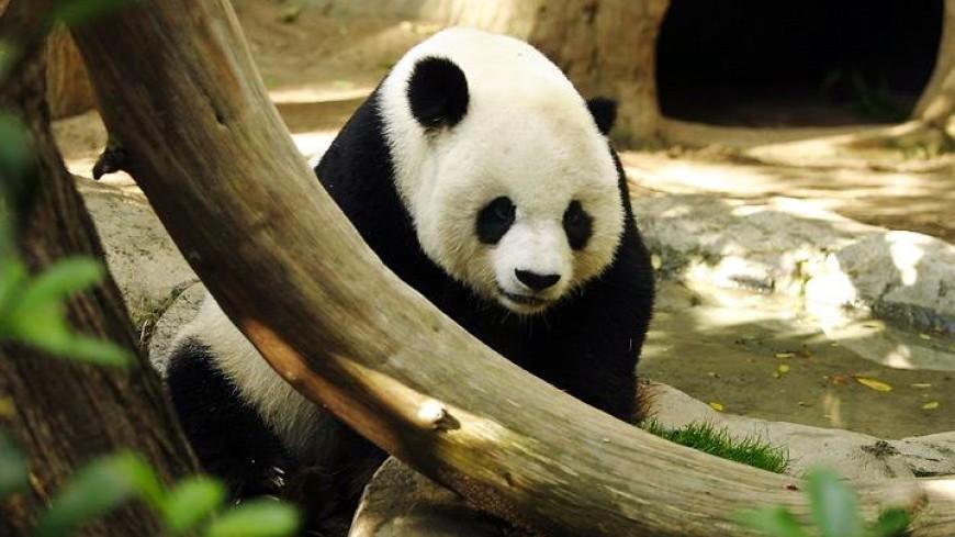Взоопарке скончался 1-ый французский панда-малыш