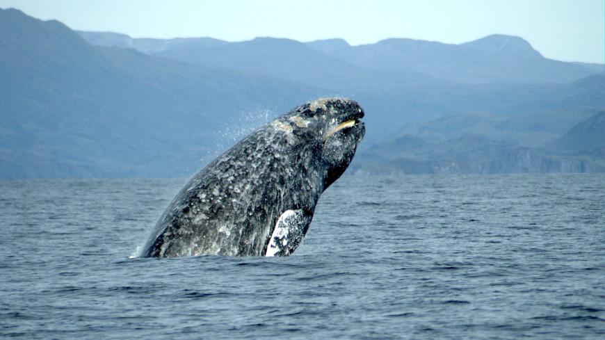 Древнейшие киты были страшными хищниками сострыми зубами— Ученые