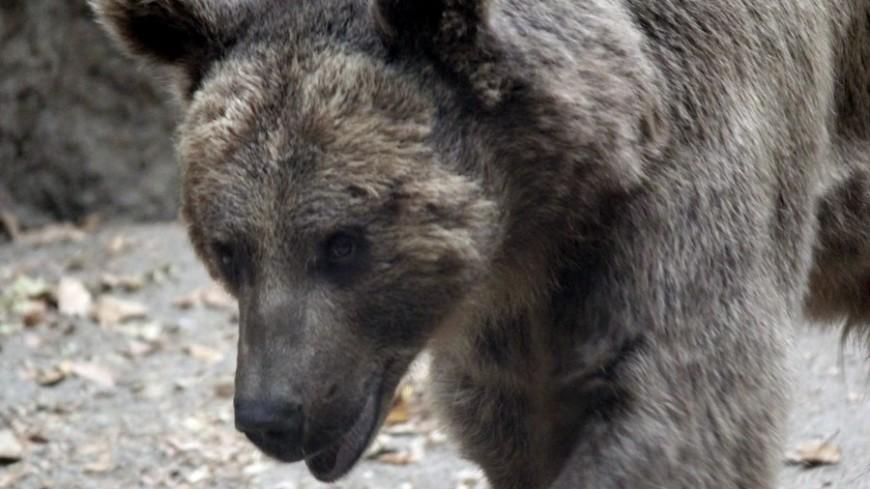 Охотившаяся за фастфудом семья медведей пустилась наутек при виде полиции