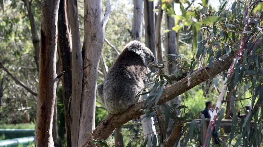 В Австралии родилась белая коала