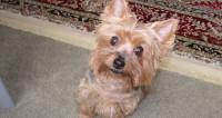 Самой популярной собакой в России стал йоркширский терьер