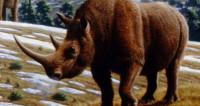 «Шерстяные» носороги на Суматре вымирают уже миллион лет