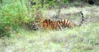 В китайском сафари-парке тигр растерзал женщину