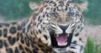 На вершинах гор северо-западного Китая обнаружили редких леопардов