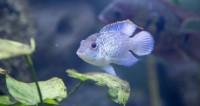 Ученые раскрыли секреты выживания рыбы-гермафродита