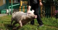 Храбрая свинья спасла сородича от ножей мясников