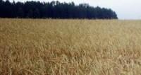 Ученые: ген гибридной пшеницы повысит урожайность