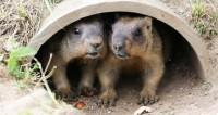 Сурки в Московском зоопарке проспят 2 февраля