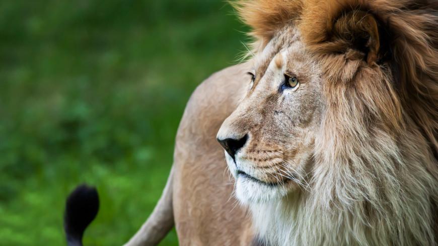 Мужчина выгулял льва по Махачкале: полиция проводит проверку