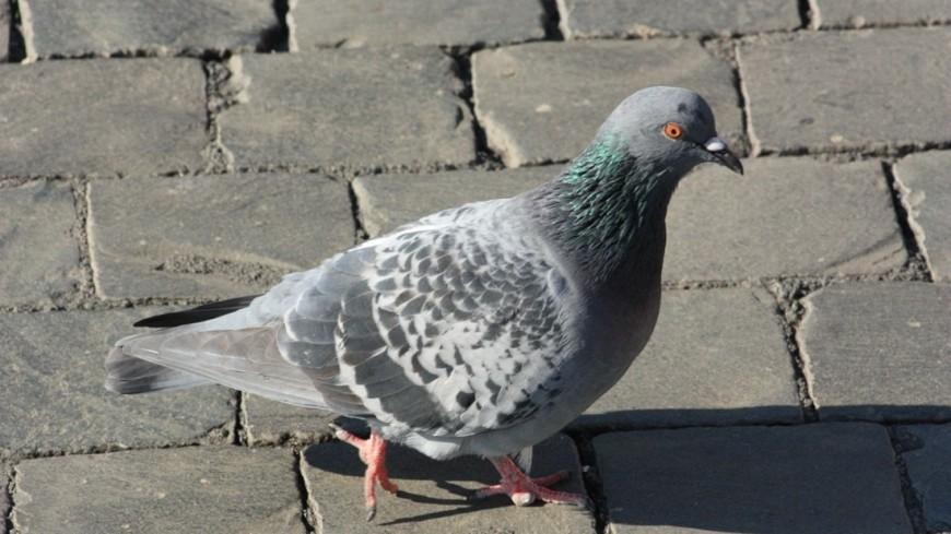 В Липецке наглый голубь разогнал людей с остановки