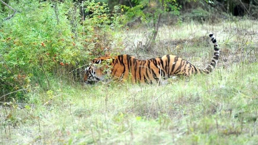"Фото: ""Сайт президента РФ"":http://kremlin.ru/, животные, тигр, тигры, тигра, животное"