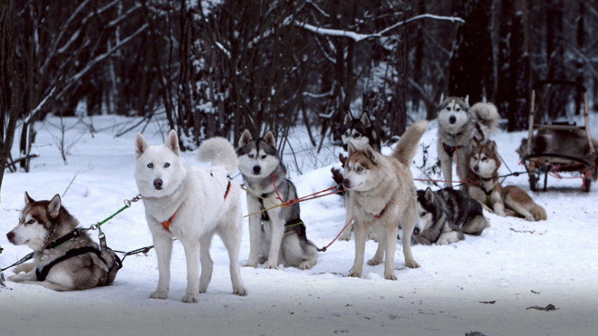 Москвичей покатают на упряжках с хаски и оленями