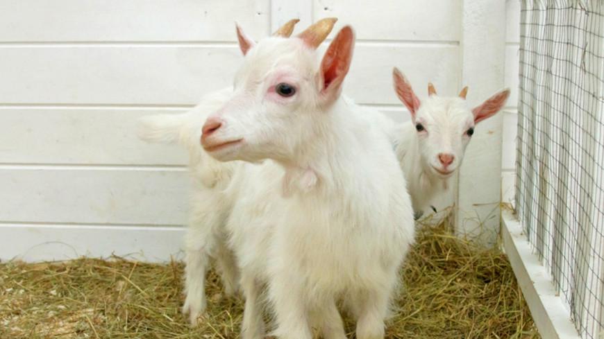 У знаменитого козла Тимура появилось потомство