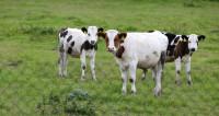 Штрафстоянки для бродячих коров открыли в Махачкале