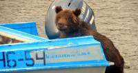 Волонтерство на Курильском озере: медведи и Стивен Сигал
