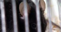 Американские ученые отключили мышам GPS