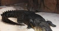 Американец убил пять аллигаторов, чтобы сделать из них закуску под футбол