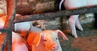 Ученые: трюфели заменили свиньям марихуану